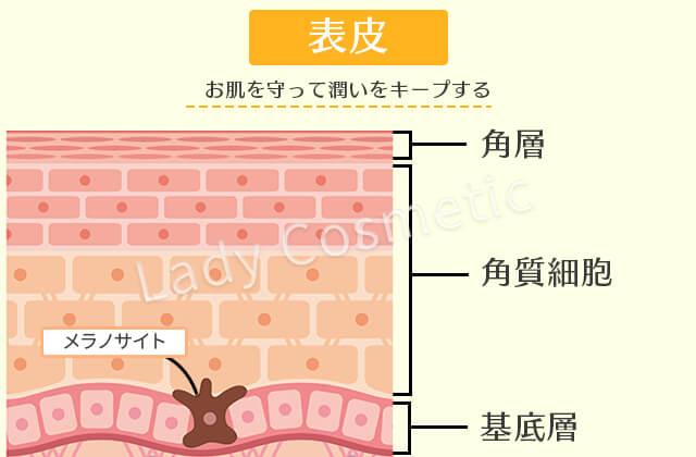表皮の構造や特徴