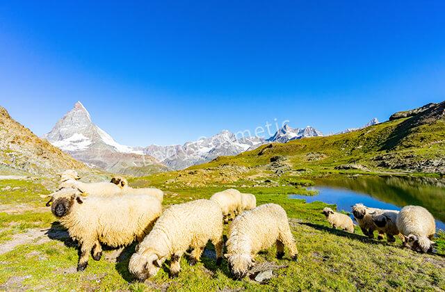 草原でのびやかに過ごす羊たち